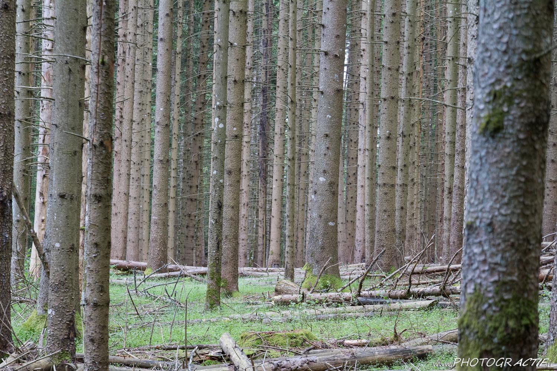 1_Coniferes